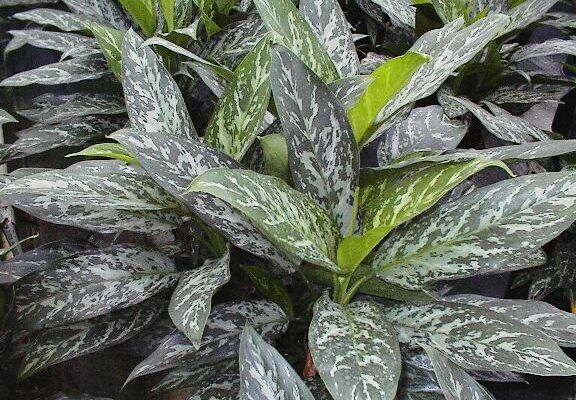 Aglaonema Green Lady -Mashrita.com