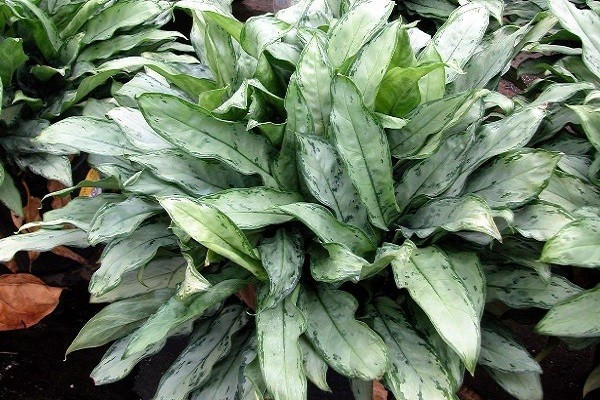 Aglaonema Jewel of India -Mashrita.com