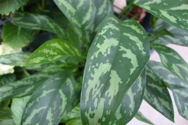 Aglaonema Maria Emerald-Beauty -Mashrita.com