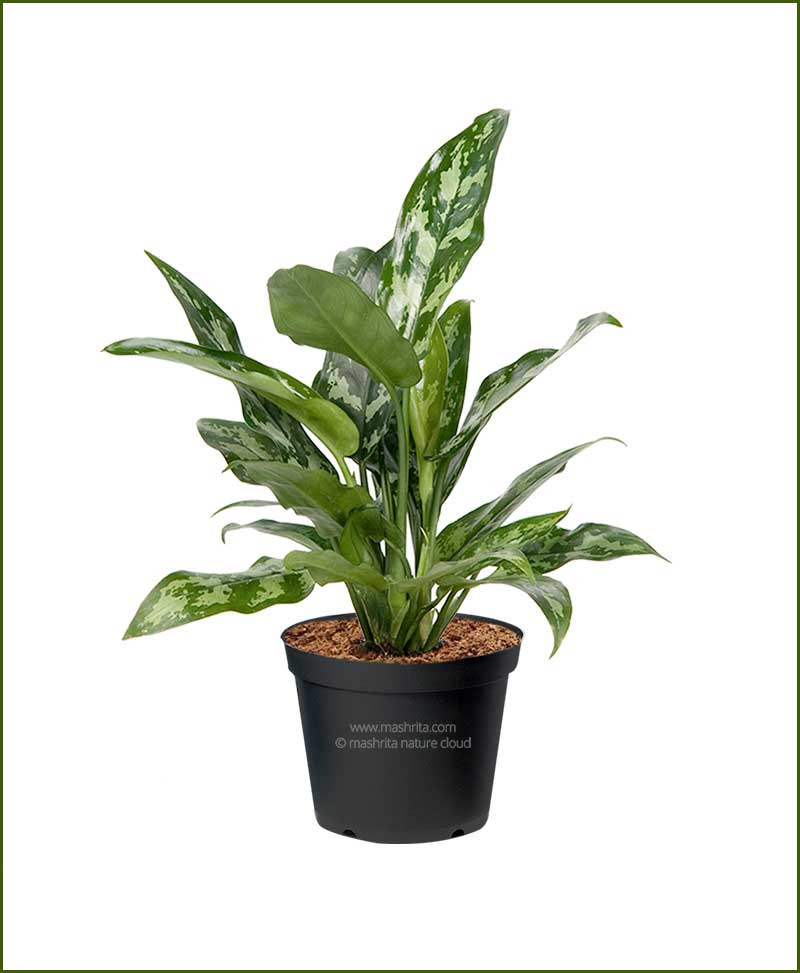 Aglaonema-Maria_Mashrita_Nature_Cloud