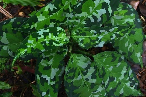 Aglaonema Pictum Tricolor -Mashrita.com