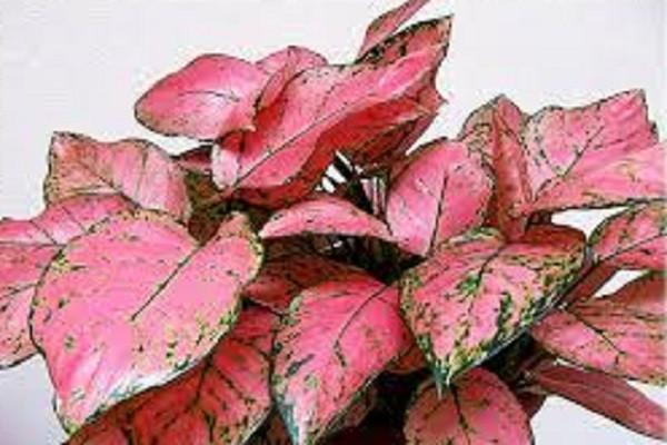 Aglaonema Pink Valentine -Mashrita.com