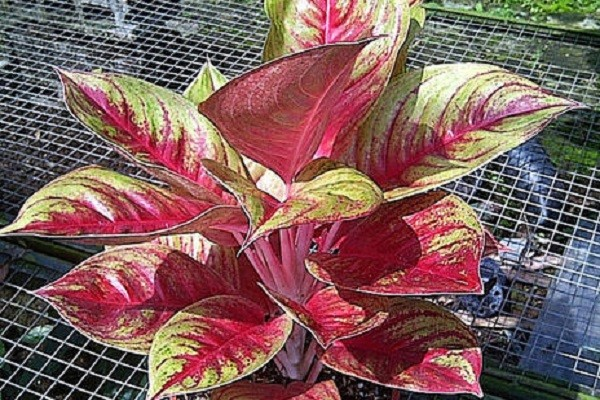 Aglaonema Red Panama -Mashrita.com