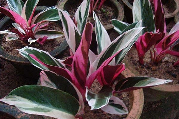 Aglaonema Red Sumatra -Mashrita.com