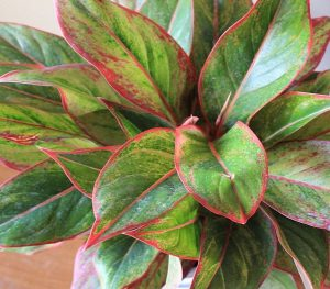 buy aglaonema siam aurora plant online - mashrita.com