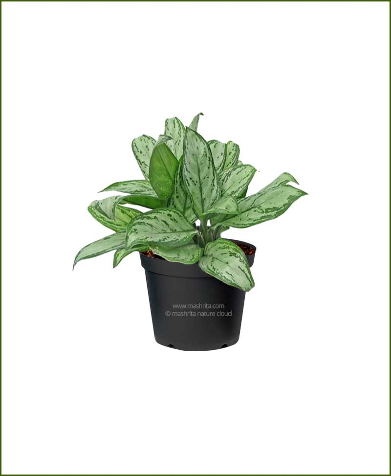 Aglaonema Silver Queen_Mashrita_Nature_Cloud