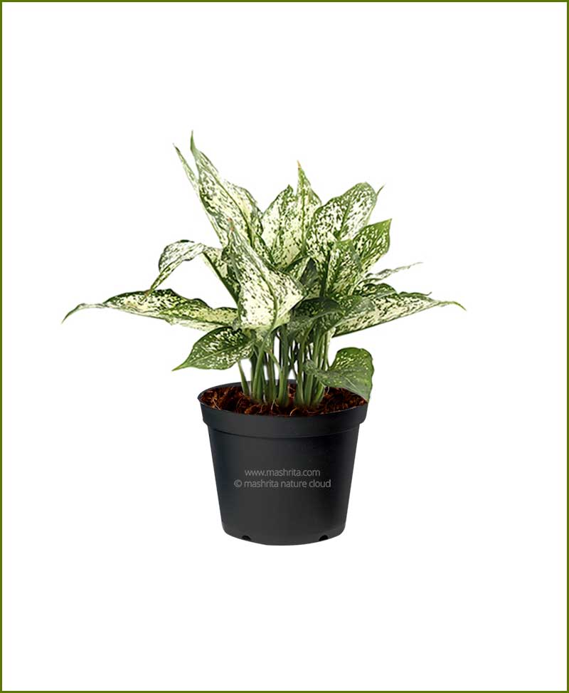 Aglaonema-Snow-White Mashrita Nature Cloud