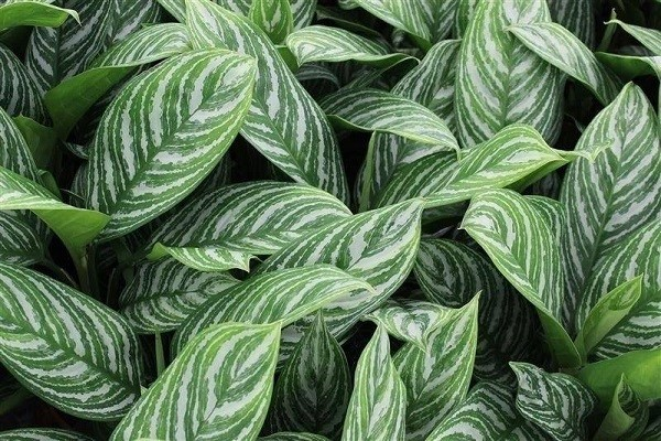 Aglaonema Stripes -Mashrita.com