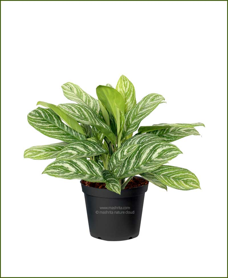 Aglaonema-White-Lightening_Mashrita_Nature_Cloud