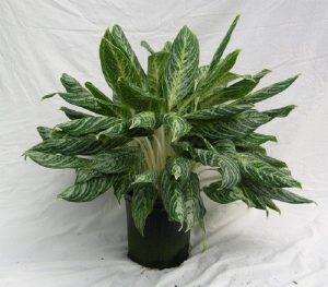 buy aglaonema white lightning plant online - mashrita.com