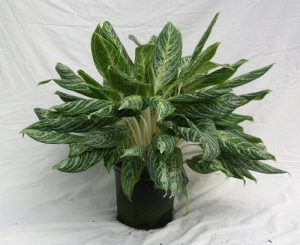 Aglaonema White Lightning