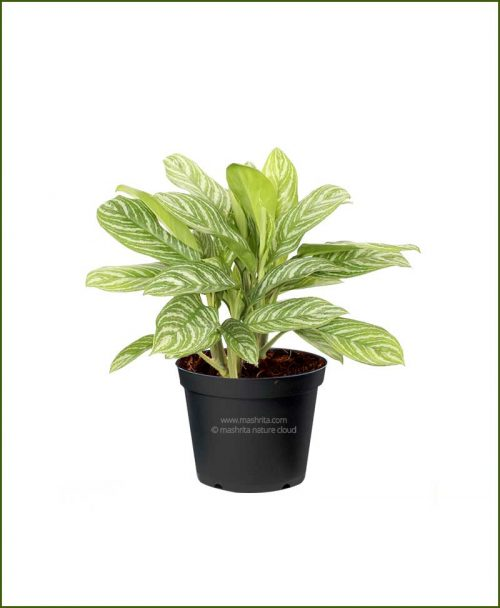 Aglaonema-White-Stripes_Mashrita_Nature_Cloud