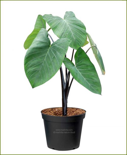Alocasia-Black_Mashrita_Nature_Cloud