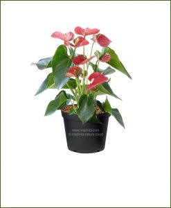 Anthurium Red Flower (Flamingo Lily)