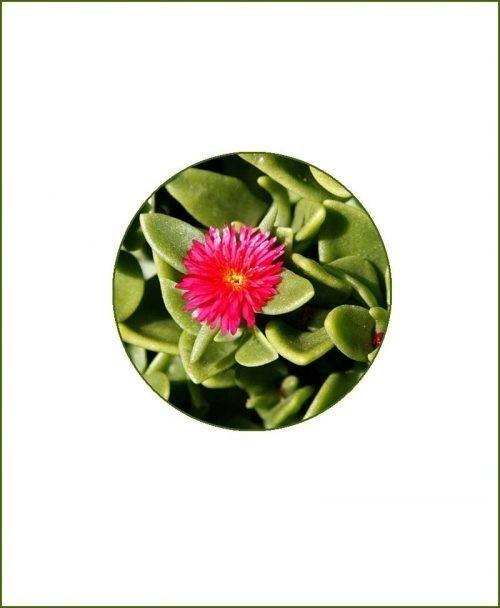 Aptenia-Heartleaf-Ice-Online-Plant-Nursery