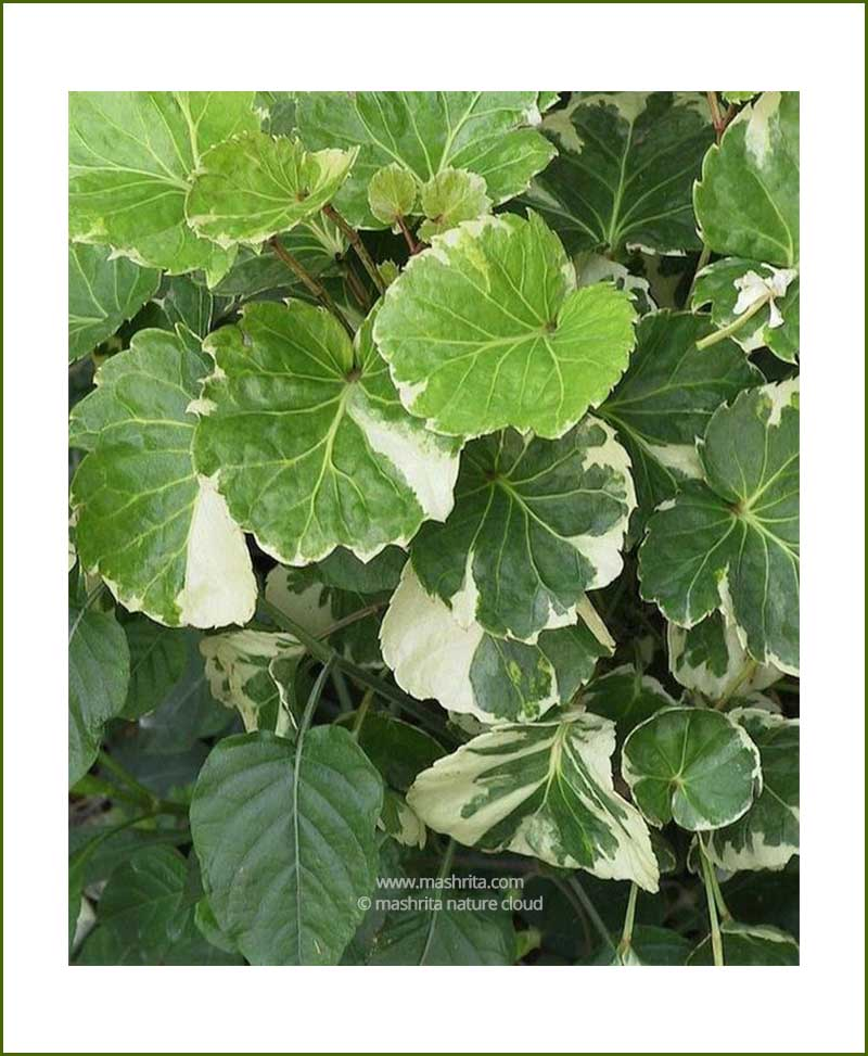 Aralia-Dinner-Plate_Mashrita_Nature_Cloud