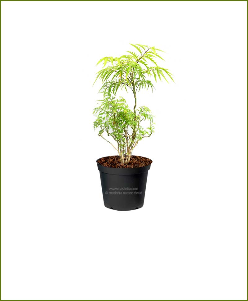 Aralia-Golden_Mashrita_Nature_Cloud