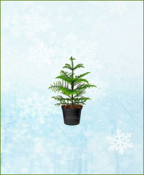 Araucaria-Christmas-Tree-Small-