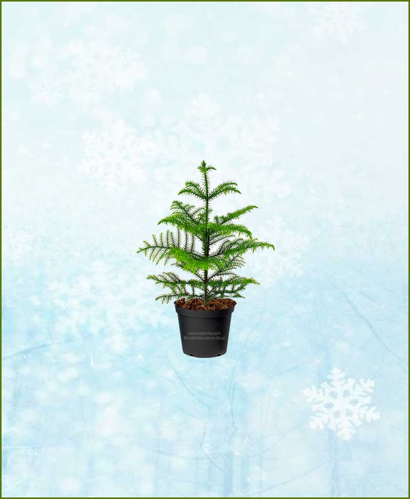 Araucaria Christmas Tree Small