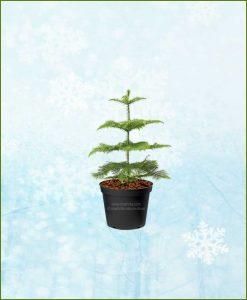 Araucaria Christmas Tree Small