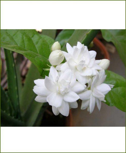 Arabian Jasmine Mogra Double_Mashrita_Online-Nursery