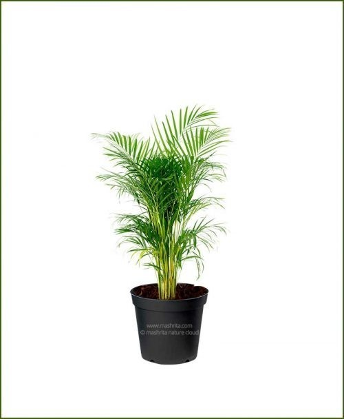 Areca Palm Dypsis lutescens 24 Inch