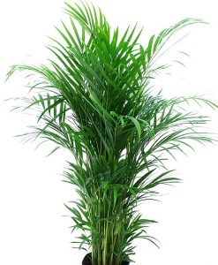 Areca Palm - Mashrita Nature Cloud
