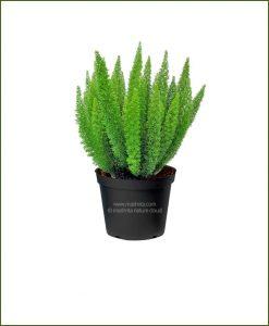 Asparagus-Meyeri-Foxtail-Fern_Mashrita_Nature_Cloud