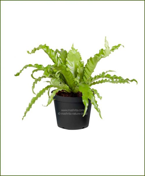 Bird-Nest-Fern-(Asplenium-Nidus)_Mashrita_Nature_Cloud