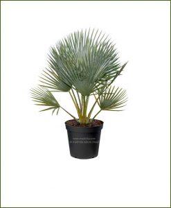 Bismarckia Palm Bismarckia Nobilis 18Inch