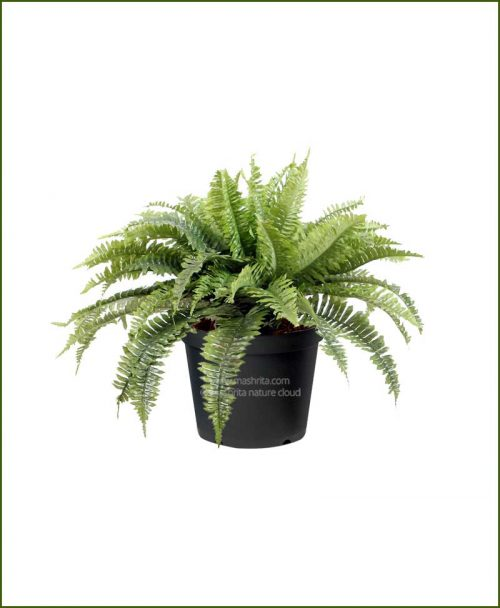 Boston Fern Mashrita Nature Cloud
