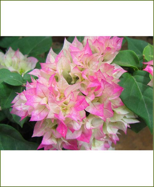 Bougainvillea Double Multicolor