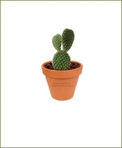 Bunny-Ear-Cactus-Online-Plant-Nursery