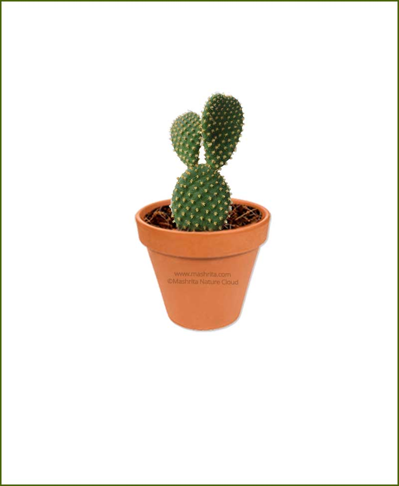 Bunny Ear Cactus Online Plant Nursery