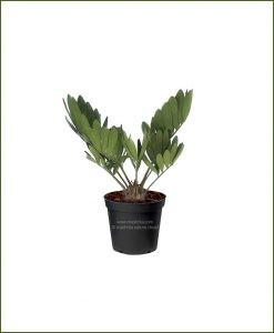 Carboard-Palm-Zamia-Furfuracea_Mashrita_Nature_Cloud