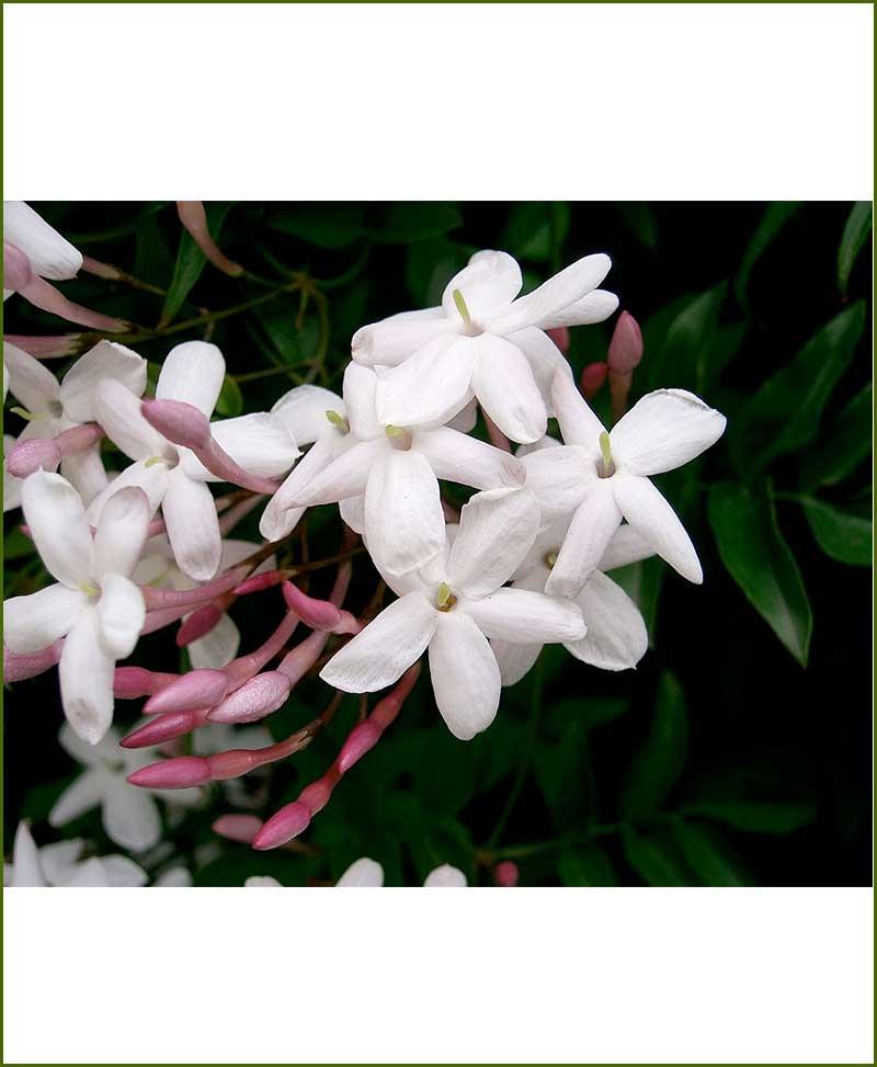 Chameli Jasminum Polyanthum_Mashrita_Online-Nursery