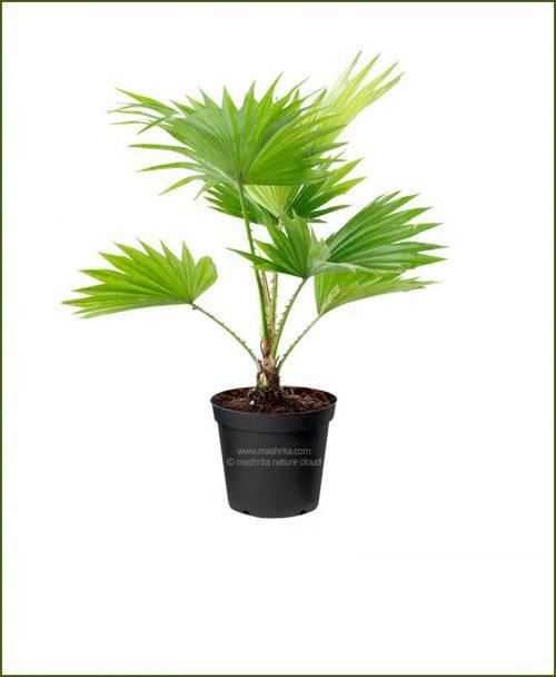 Chinese Fan Palm Livistona Chinensis