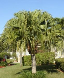 Chinese Fan Palm - Mashrita Nature Cloud