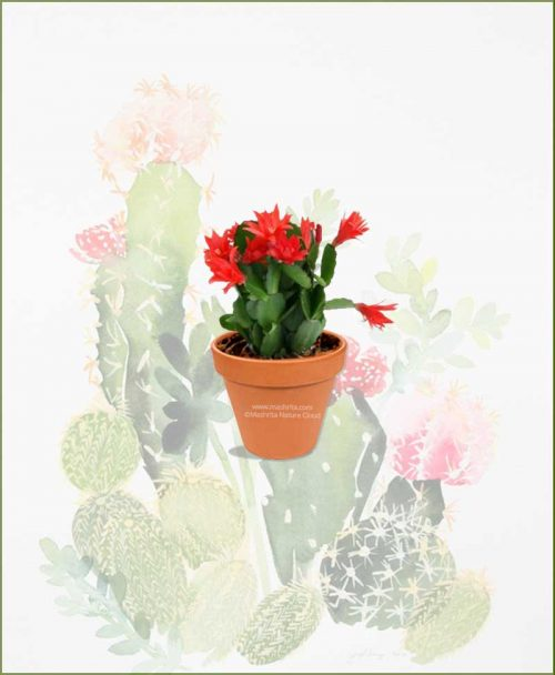 Christmas-Cactus-Schlumbergeras-(Zygocactus-Truncata)-Online-Plant-Nursery