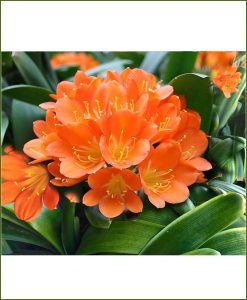 Clivia-Lily-Plant_Mashrita_Online-Nursery