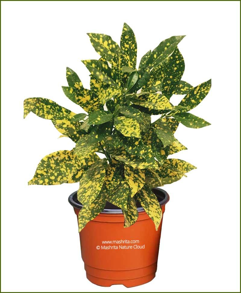 Codiaeum-Variegatum-Aucubaefolia-(Baby-Croton)__Mashrita_Nature_Cloud-