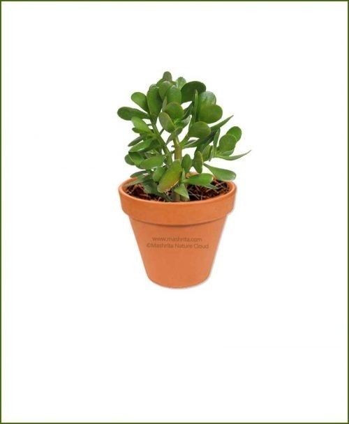 Crassula-Ovata-(Jade-Plant-Fatty-Leaves)-Online-Plant-Nursery