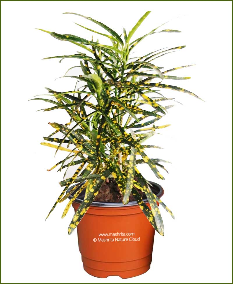 Croton-Codiaeum-Variegatum-Punctatum-Aureum-(Gold-Dust-Narrow)__Mashrita_Nature_Cloud