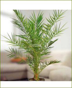 Date Palm Phoenix Dactylifera 24 Inch