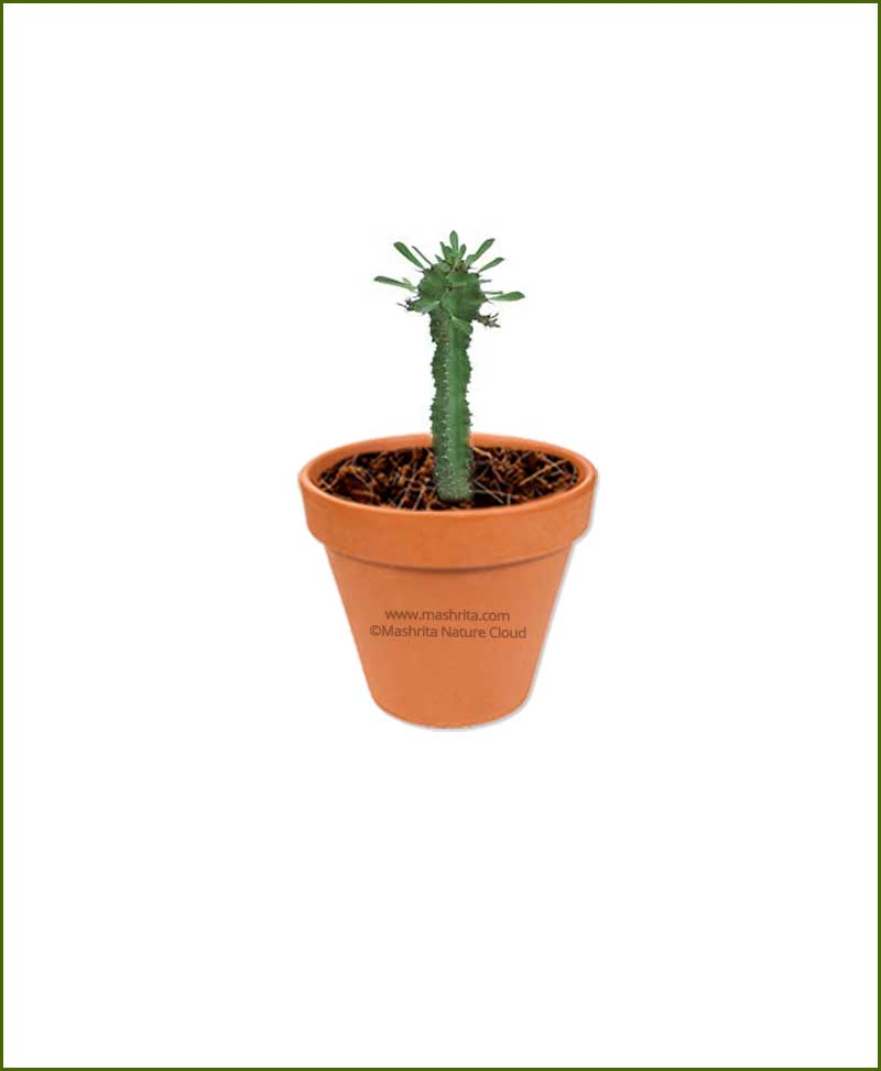 Euphorbia ingens online plant nursery for Plantes online