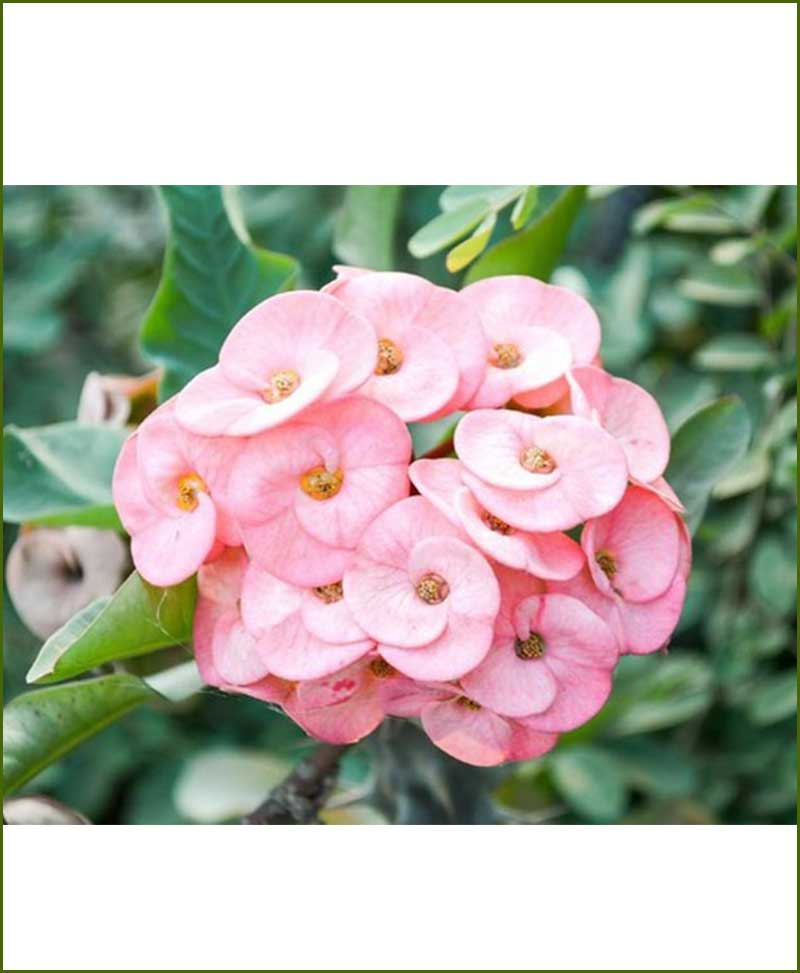 Euphorbia Plant Pink_Mashrita_Online_Nursery