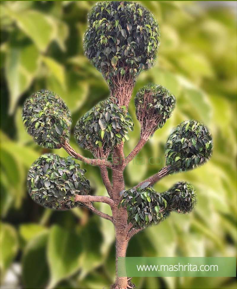 Ficus Benjamina Multi Head