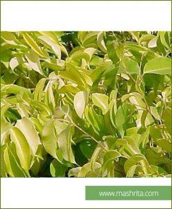 Ficus Benjamina Reginald(10 Plants) Mashrita Online Nursery