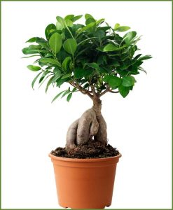 Ficus Microcarpa (Ginseng) 1 Kg_Mashrita_Nature_Cloud