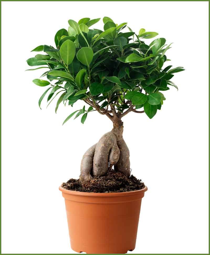 ficus microcarpa 200 grams bonsai ficus ginseng bonsai. Black Bedroom Furniture Sets. Home Design Ideas